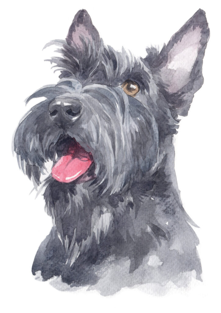 Scottish,Terrier